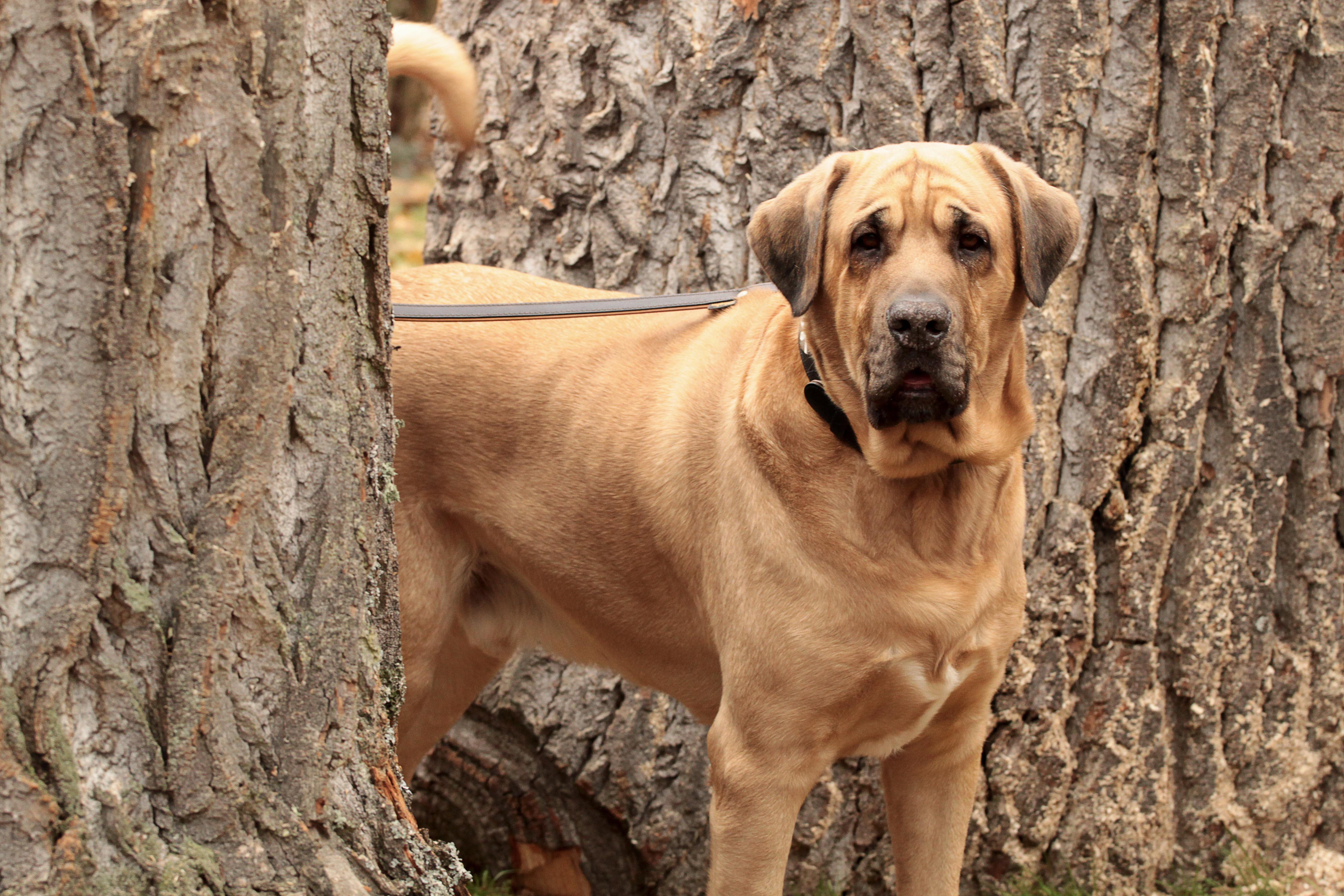 Pictures Of Mastiff Dogs